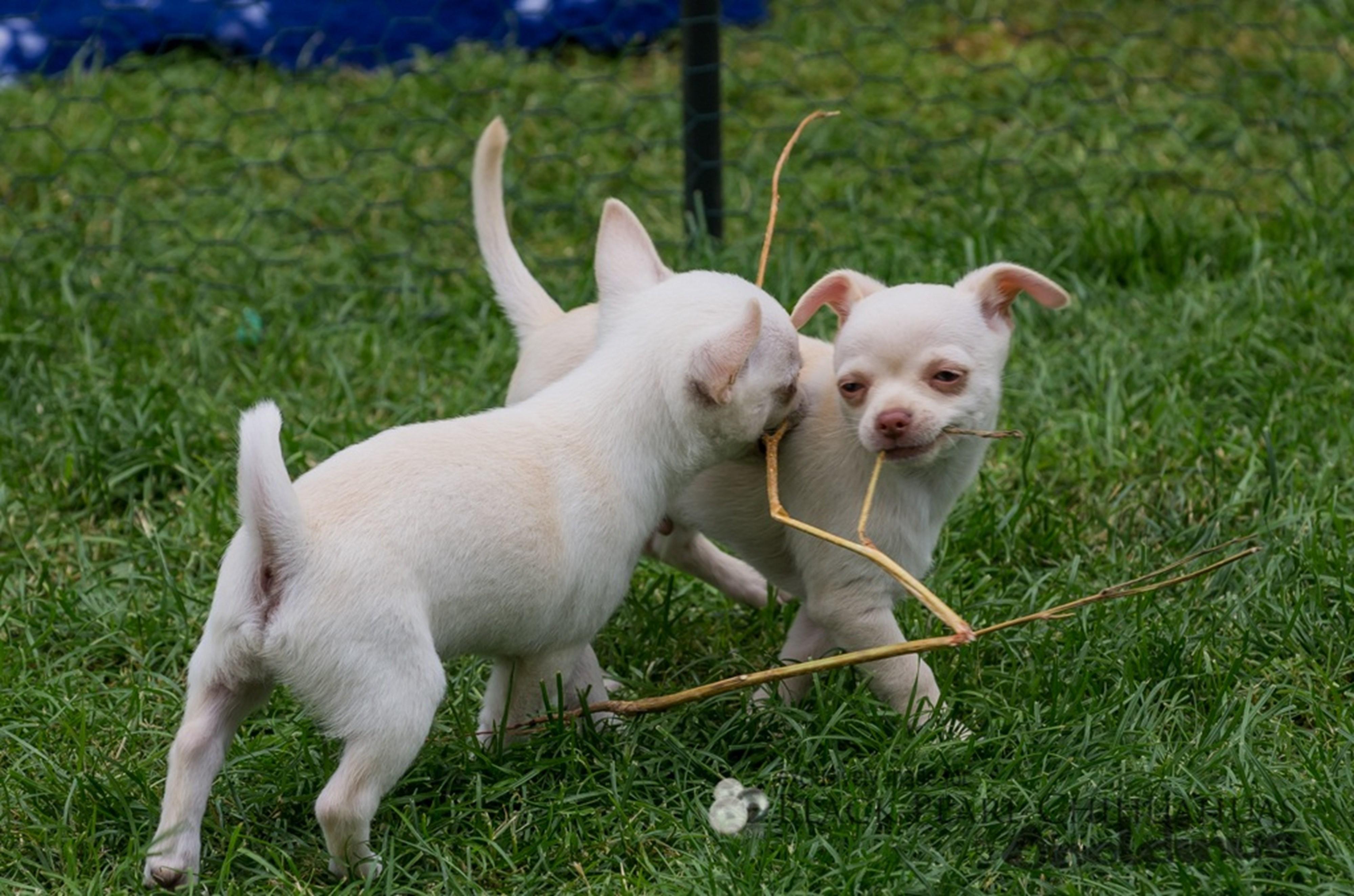 Galerie Schweizer Chihuahua Zucht Black Pearl Chihuahuas