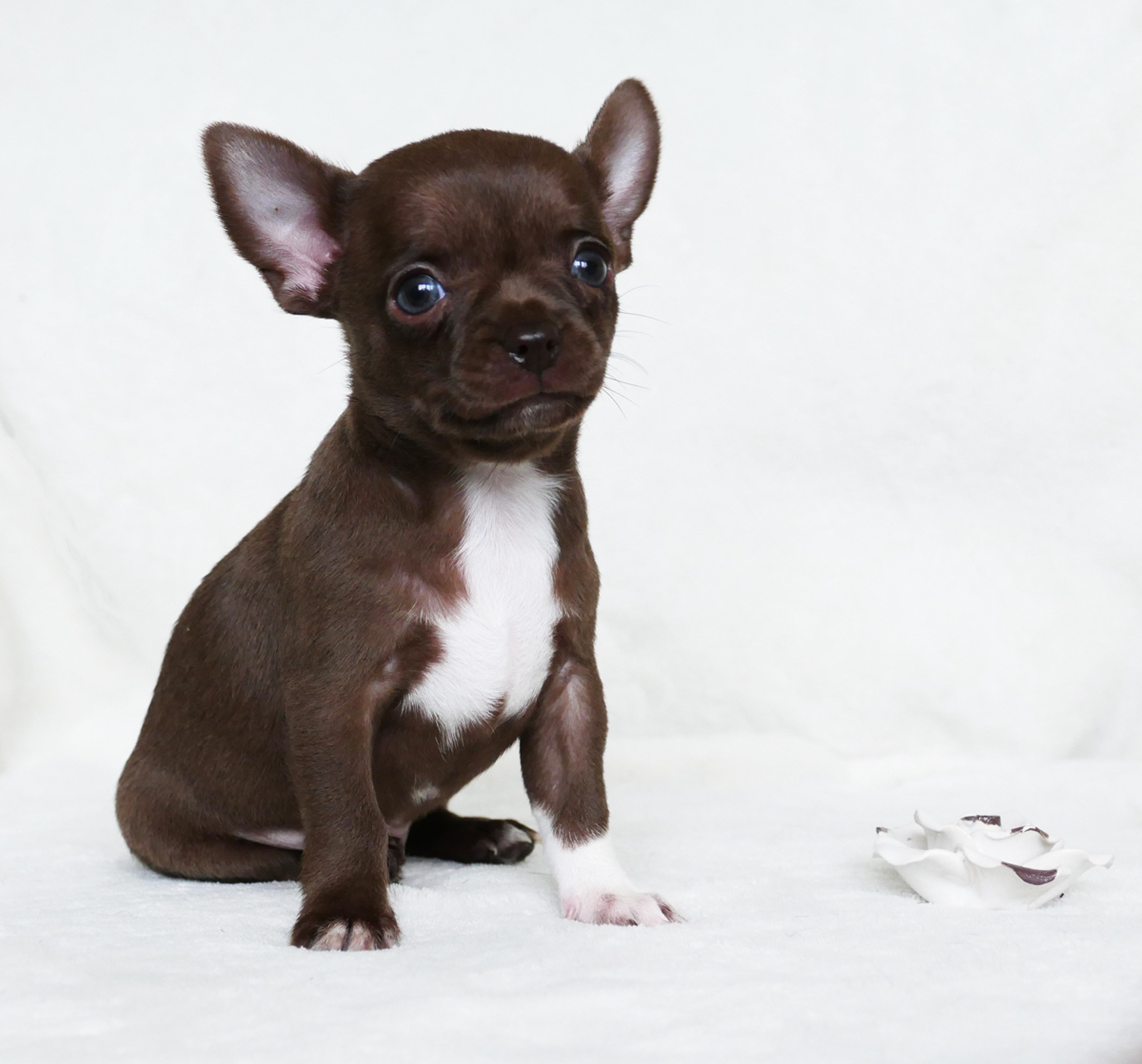 Unsere Chihuahua Welpen Schweizer Chihuahua Zucht Black Pearl Chihuahuas